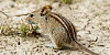 For the Cats-striped-mouse-2016.png